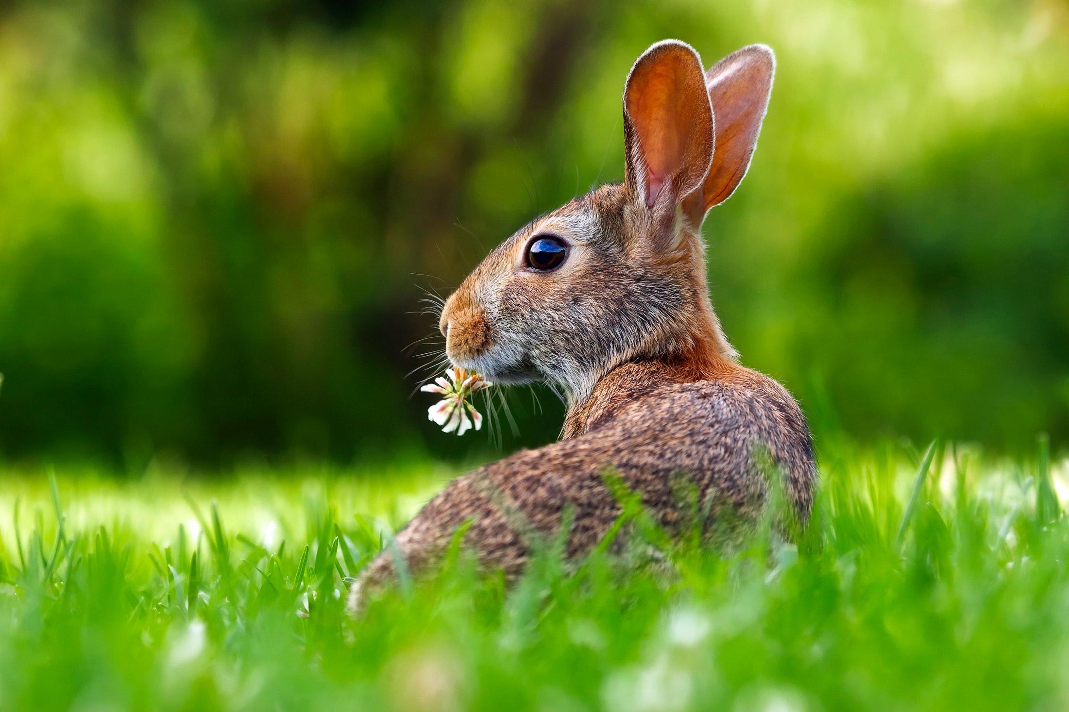 is a rabbit a herbivore