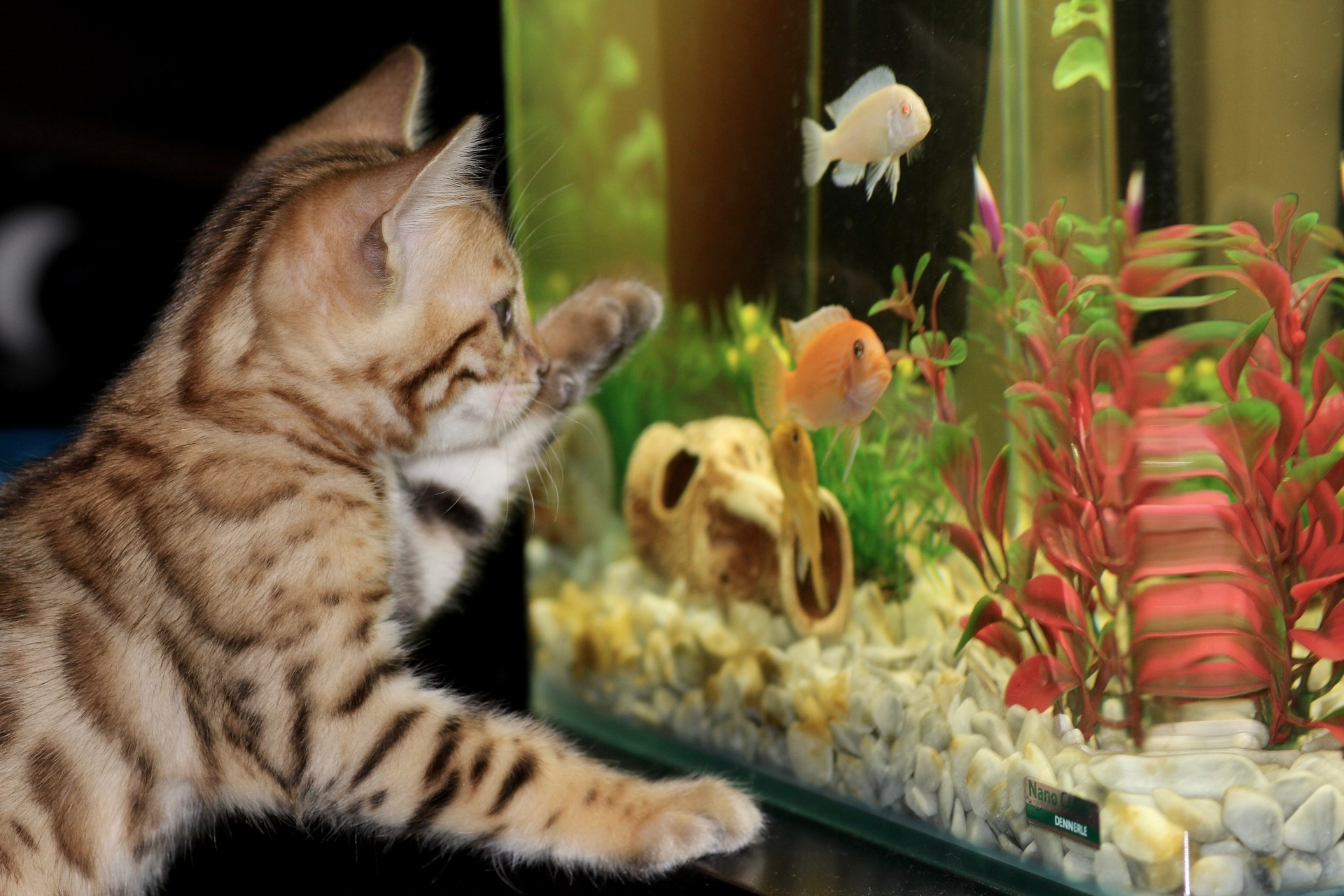 kitten watching 55 gallon fish tank aquarium