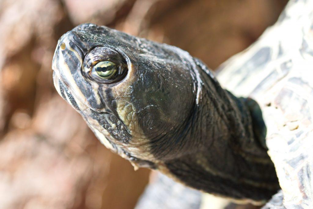 The Best Turtle Basking Platform Prevent Shell Rot
