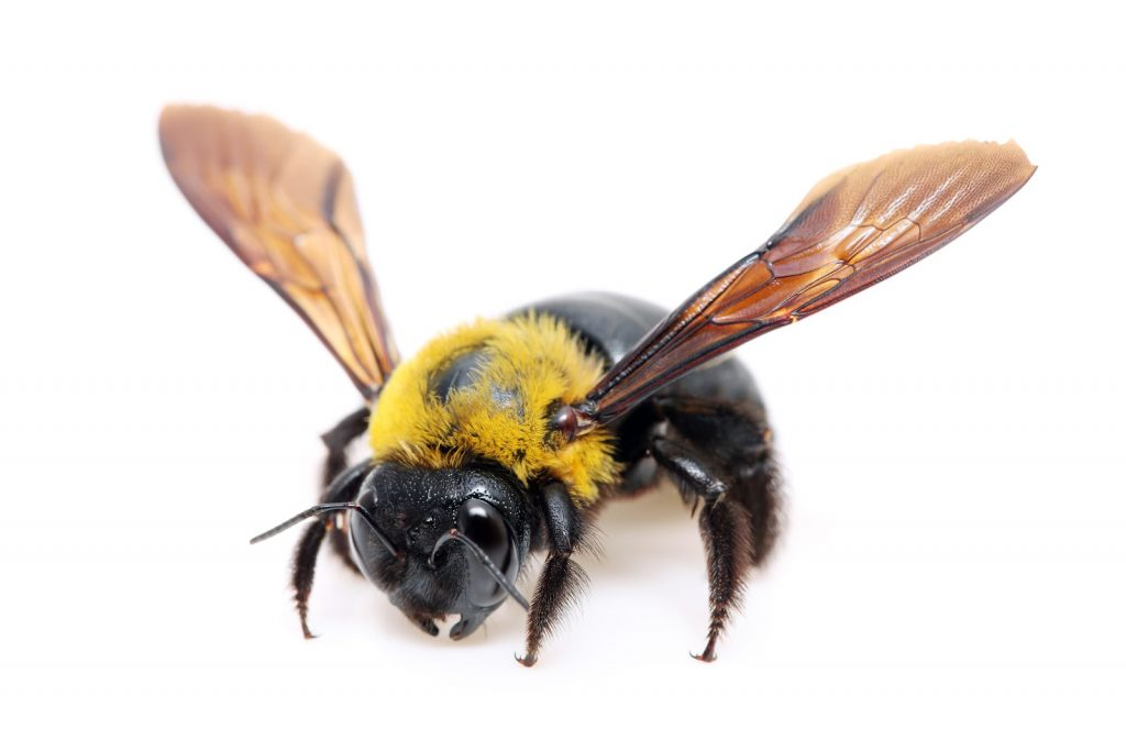 american facts about carpenter bee