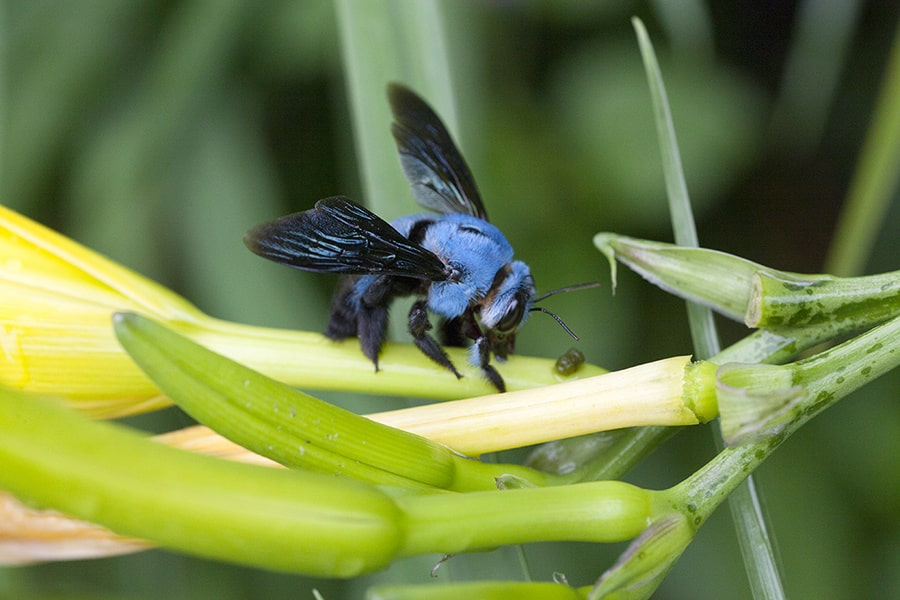 amazing things about carpenter bees