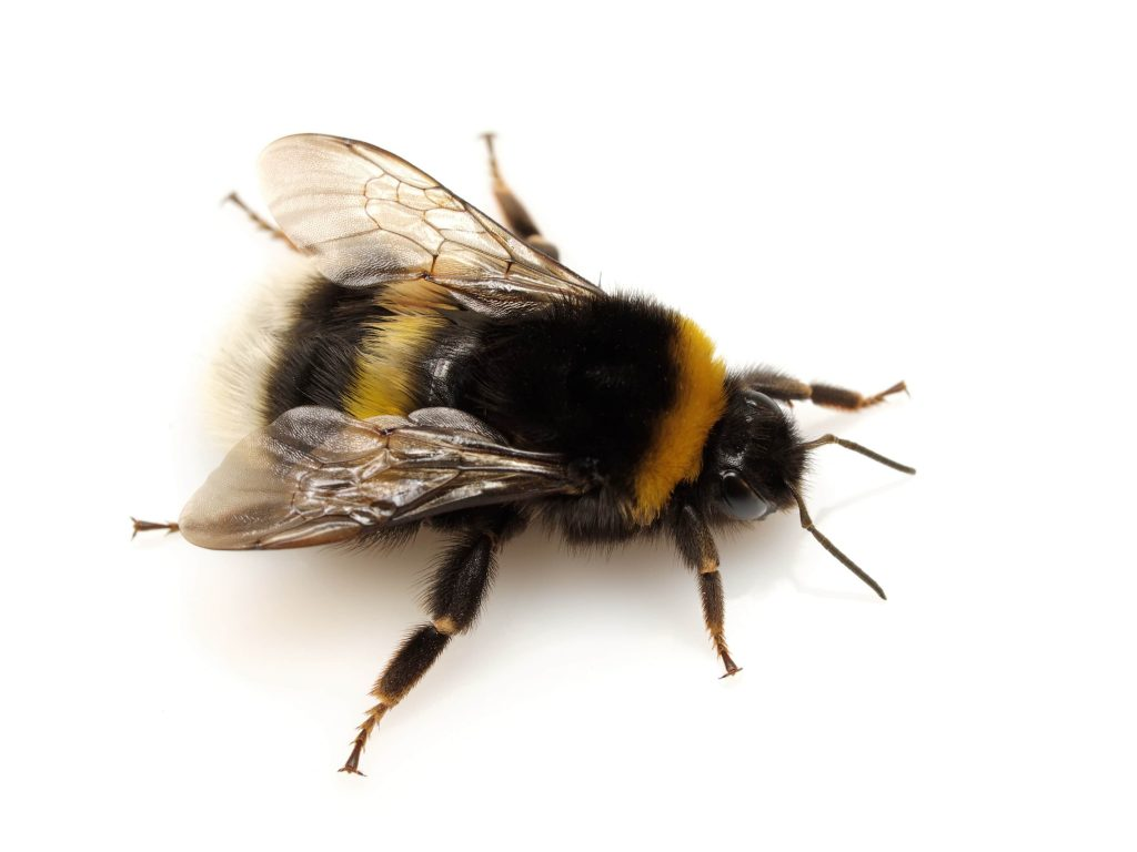 facts about bumblebees
