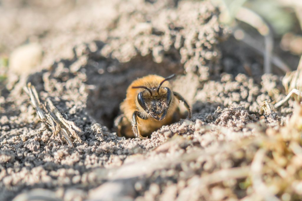 about ground bees information
