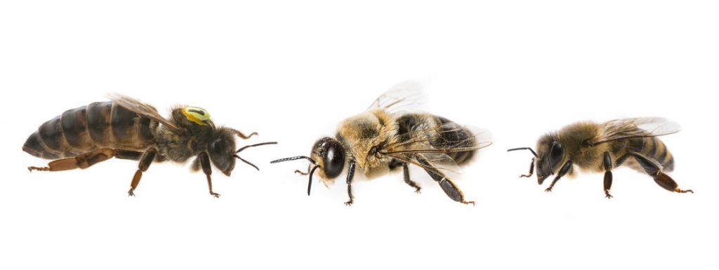 How long do honey bees life for drone worker queen