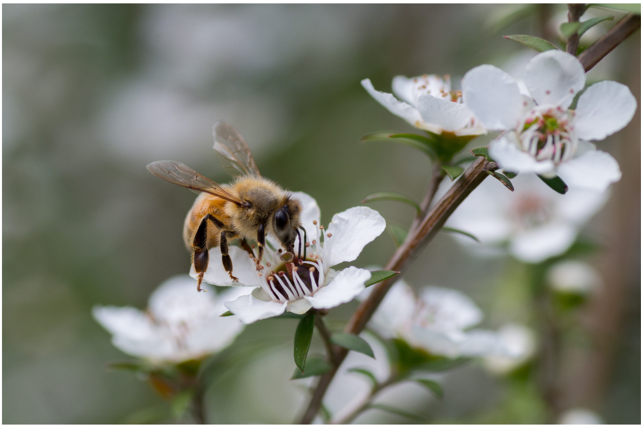 manuka honey guide
