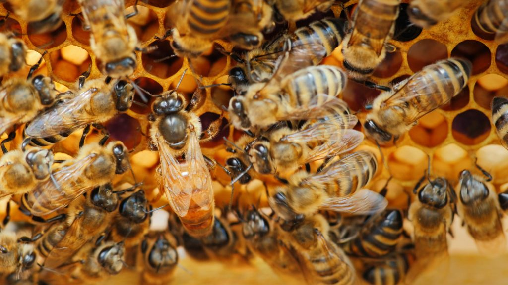 how long do honey bees live for