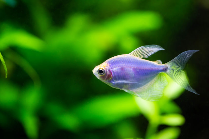 glofish tetra for sale