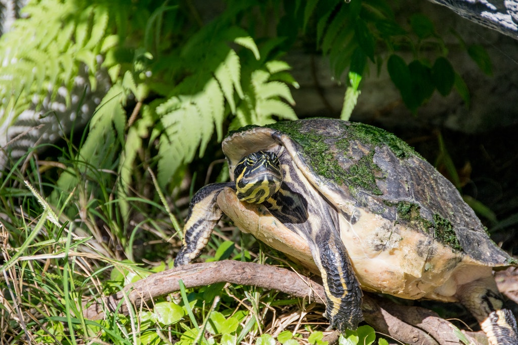 how long can a turtle go without food