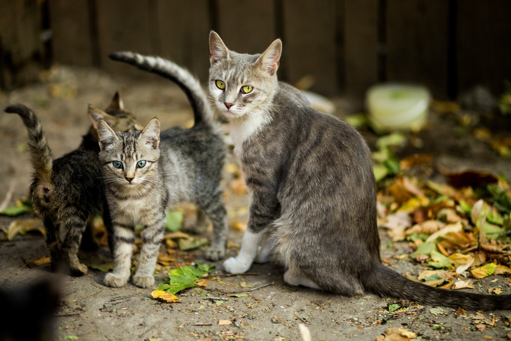 what is a mother cat called