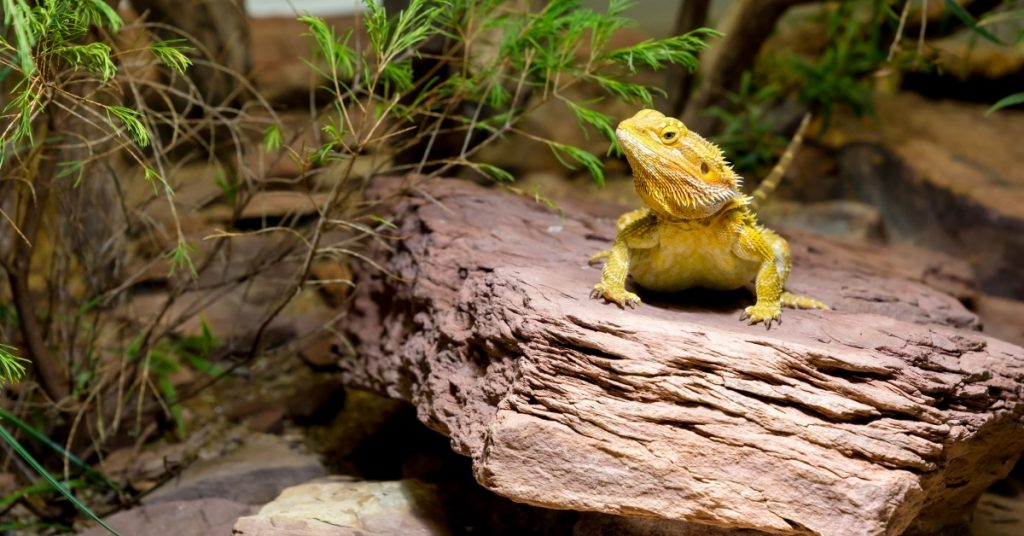 everything about bearded dragons