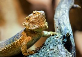 7 Things to Consider Before Buying A Bearded Dragon