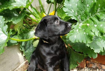 Can Dogs Eat Zucchini? Is Zucchini Good For Dogs?