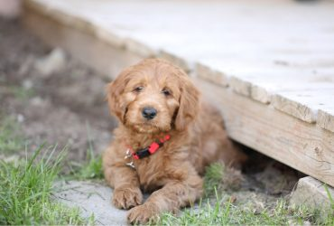 Male Vs Female Goldendoodle: Which Is Best For Your Home?