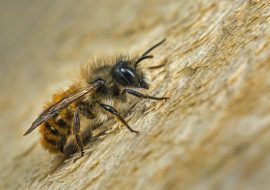 Mason Bees: How To Attract Them To Your Garden