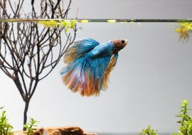 Betta Flaring: Why Betta Fish Flare And Is It Good For Them?