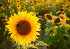 The Most INTERESTING Things You Never Knew About Bumblebees!