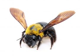 Carpenter Bees: Everything You Need To Know!