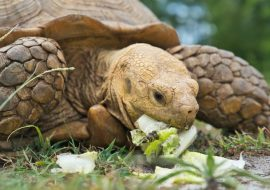 The 4 Best Tortoise Enclosures And What To Look For!