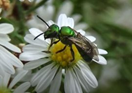 How To Get Rid Of Sweat Bees: Killing, Trapping, And Repelling