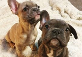 10 Different Types Of French Bulldogs: Frenchie Breeds For Families!