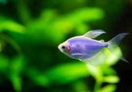 Glofish Guide: What Are Glofish & Which Tank Is Best?