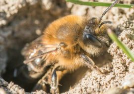 Ground Bees: Bees That Live In The Ground!