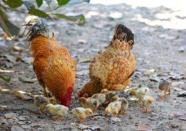 How Do Chicken Eggs Get Fertilized?