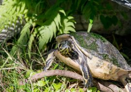 How Long Can Turtles Go Without Eating? Is Your Turtle Not Eating?