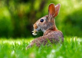 Is A Rabbit A Herbivore? Do Rabbits Only Eat Plants?