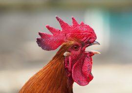 Best Chicken Plucker For Efficient Processing!