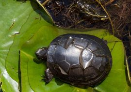 Do Turtles Shed? A Guide To Turtle Shells Peeling