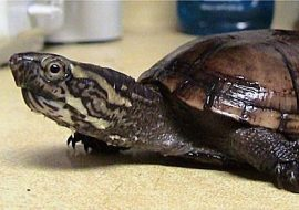 4 Smallest Turtle Breeds Guaranteed To Stay Adorable Forever!