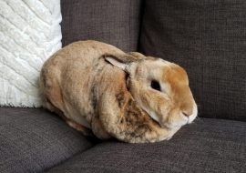Why Does My Rabbit Pee On Me? And How To Stop It!