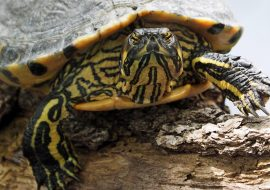 Do Turtles Eat Meat? A Quick Guide to Your Turtle's Diet